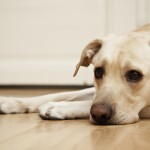 Hardwood flooring for pets?